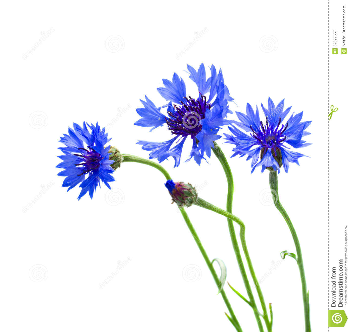 Blue Corn Flowers Royalty Free Stock Photography.