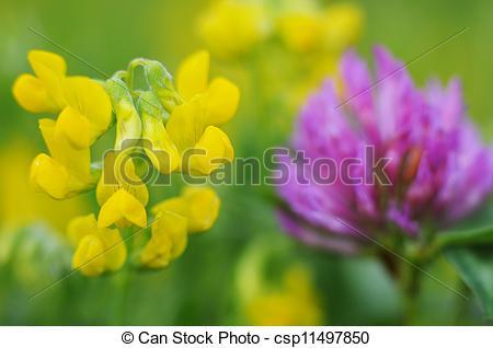 Stock Images of Lotus corniculatus and Trifolium pratense.