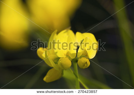 "lotus Corniculatus"" Stock Photos, Royalty."