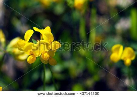 "lotus Corniculatus"" Stock Photos, Royalty."