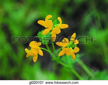 Picture of Lotus corniculatus, palgong mountain, nature, wild.