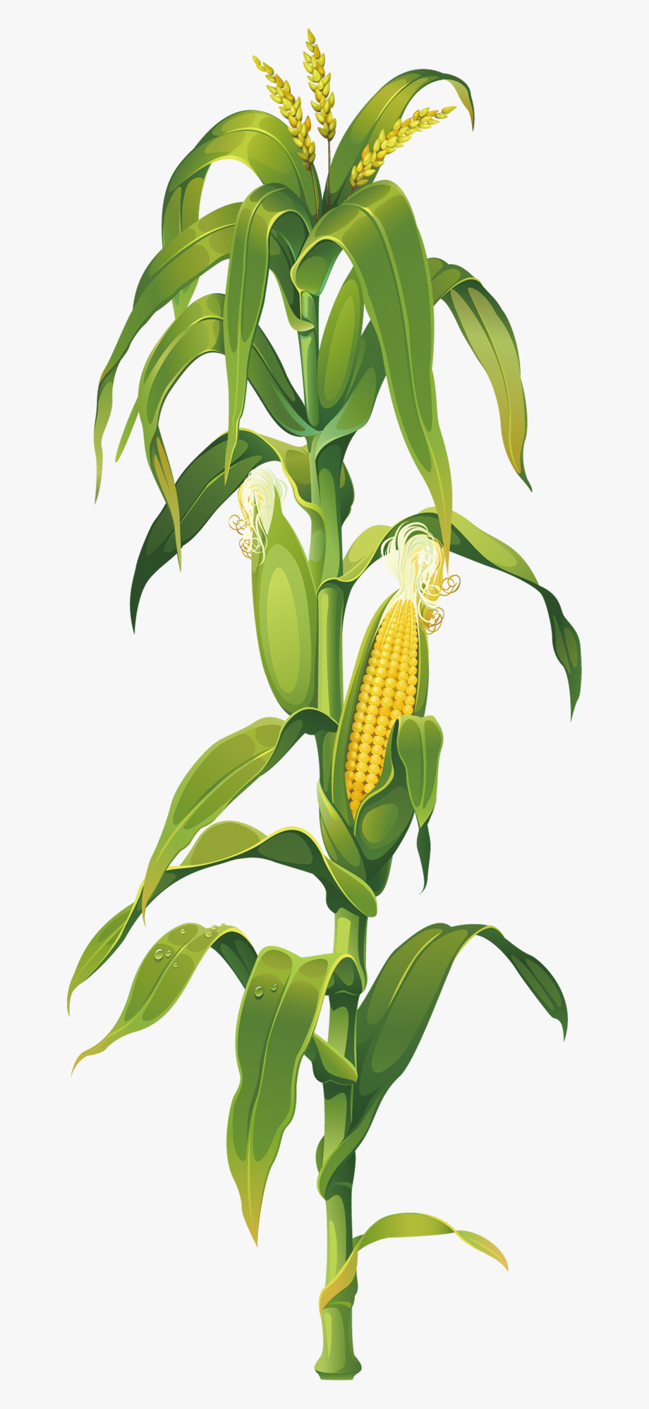 Corn Clipart Png.