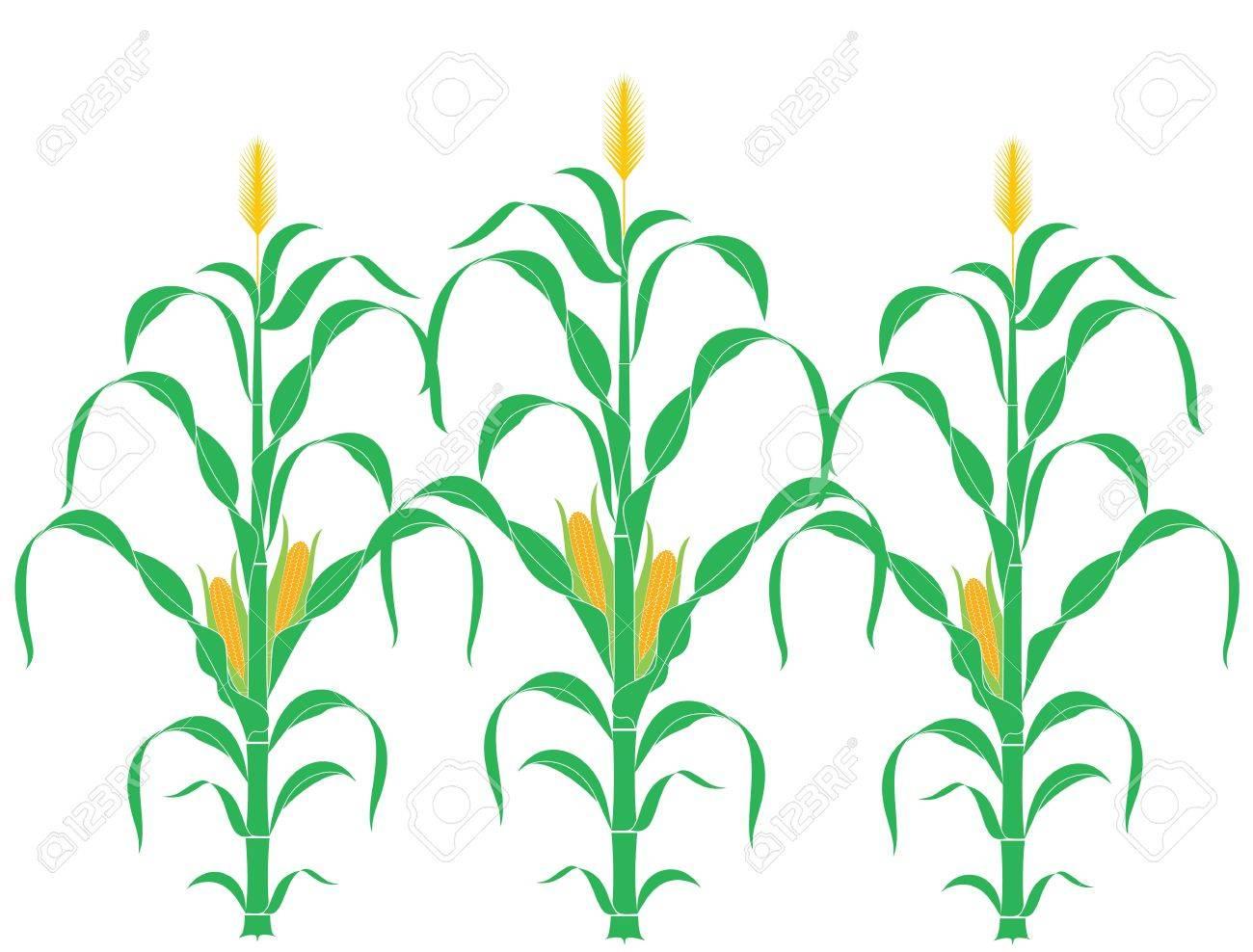 Corn Stalk. Corn.