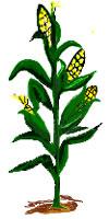 Corn Stalk Clipart.