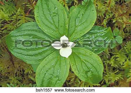 Picture of Detail of bunchberry dogwood (Cornus canadensis) in.