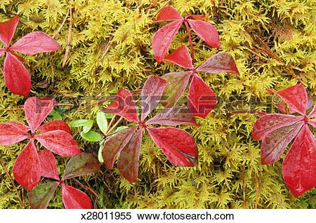 Stock Image of Ground dogwood (Cornus canadensis) and moss, full.