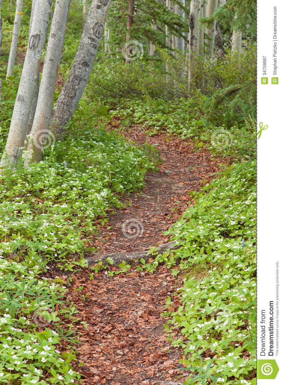Taiga Forest Trail Lined With Bunchberry Flowers Royalty Free.