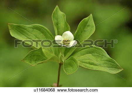 Pictures of Bunchberry (Cornus canadensis) also known as Dwarf.