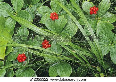 Stock Photo of bunchberries (cornus canadensis) lake superior.