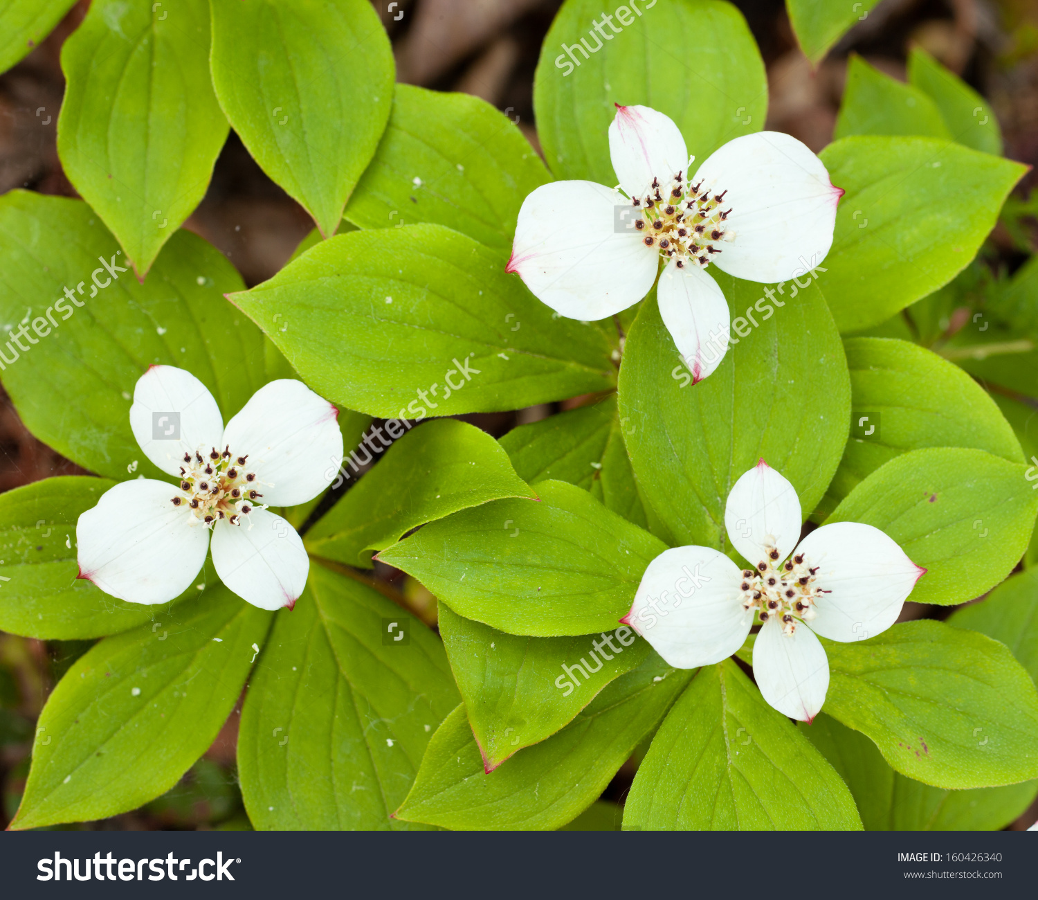 Bunchberry Flowers Cornus Canadensis Or Creeping Dogwood Grow As A.