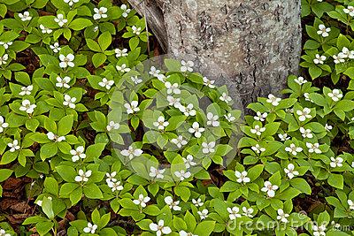 Bunchberry Flowers Cornus Canadensis At Taiga Tree Stock Photo.