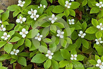 Bunchberry Flowers Cornus Canadensis Blooming Stock Images.