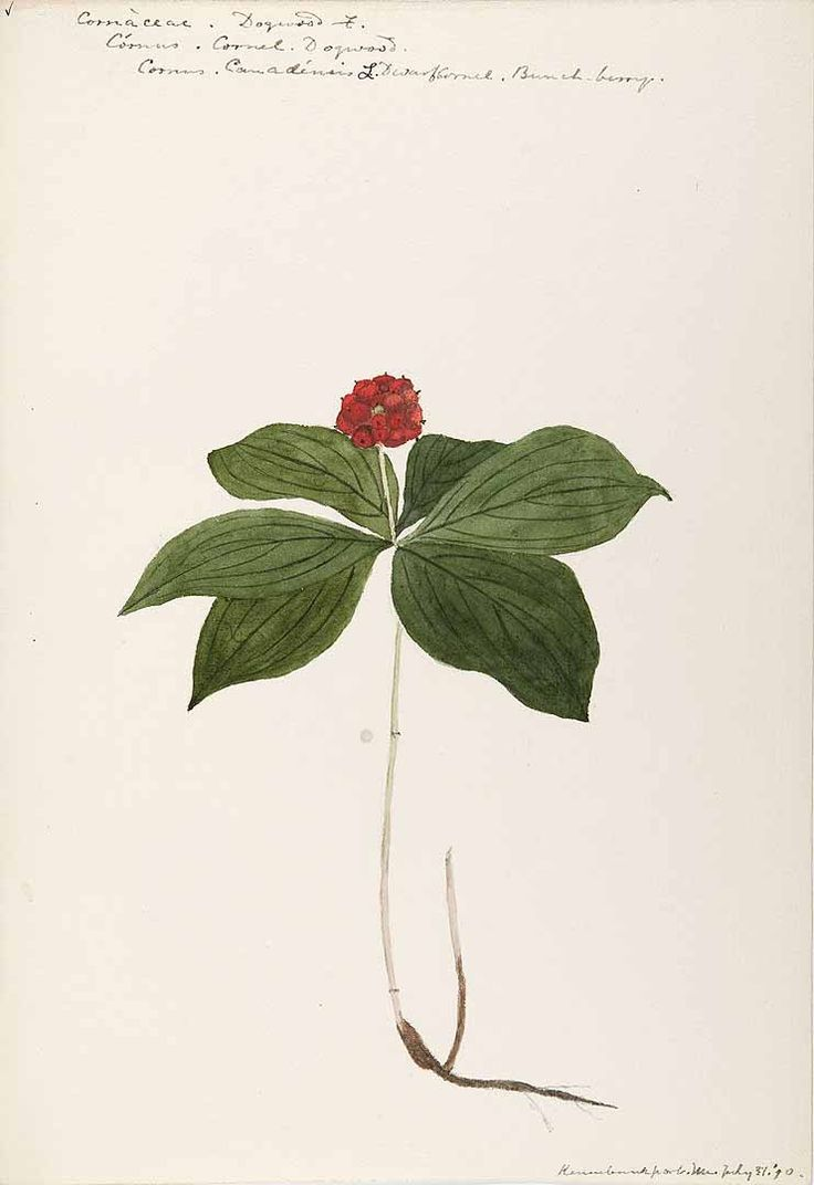 1000+ images about botanical illustration on Pinterest.
