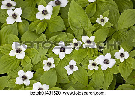 """Stock Photography of """"Canadian Dwarf Cornel, Canadian Bunchberry."""