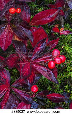 Picture of Close up of colourful autumn bunchberries (Cornus.