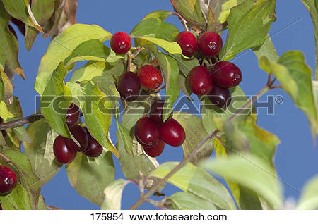Stock Photo of Cornelian Cherry (Cornus mas). Ripe fruit on a tree.