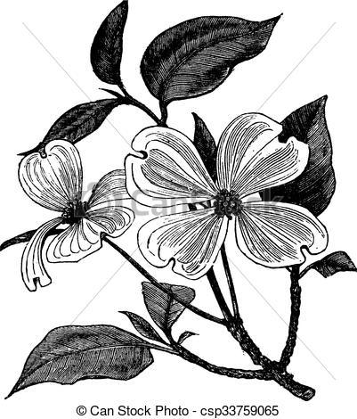 Clip Art Vector of Flowering Dogwood or Cornus florida vintage.
