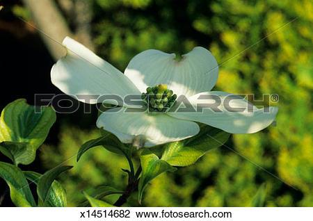 Stock Photo of American dogwood tree (Cornus florida) with bloom.
