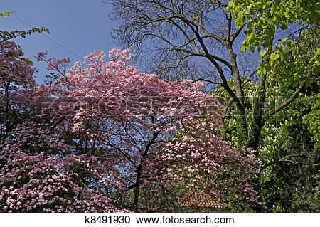 Stock Photography of Dogwood, Cornus florida Rubra tree k8491930.