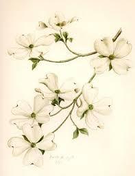 Cornus florida drawing.