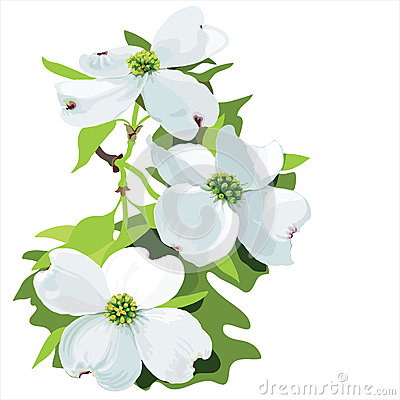 Dogwood (Cornus Florida) Stock Vector.
