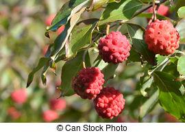 Picture of Cornus Kousa Dogwood Fruits isolated on white.