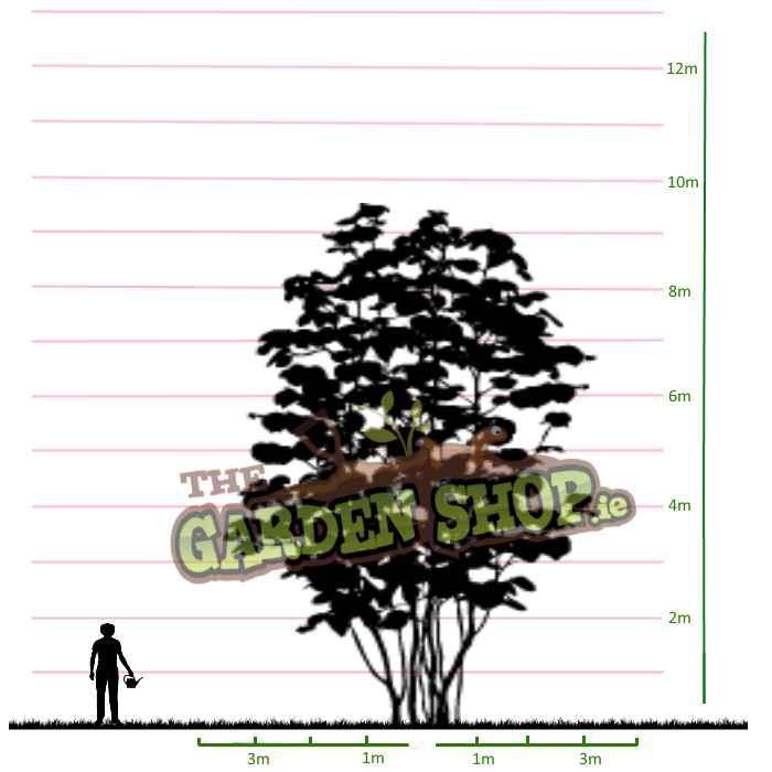 Potted Cornus Kousa Trees On Sale (Kousa Dogwood).