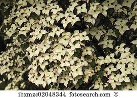 Cornus Stock Photo Images. 883 cornus royalty free pictures and.