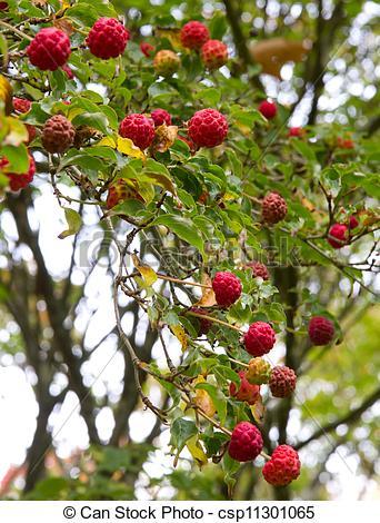 Stock Image of Cornus Kousa fruit Japanese Dogwood.
