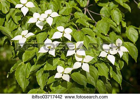 """Stock Photo of """"Kousa Dogwood or Chinese Dogwood (Cornus kousa."""