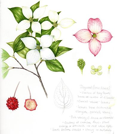Behold the Dogwood, Cornus kousa. This is THE LAST ONE of the 50.
