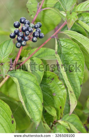 Cornus Fruit Stock Photos, Royalty.