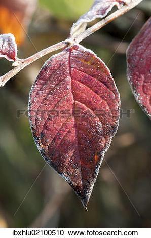 "Stock Photography of ""Dogwood (Cornus sanguinea), single leaf with."