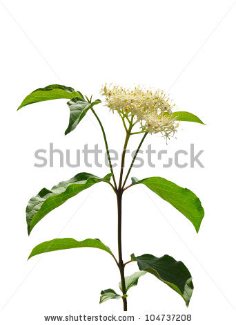Cornus Sanguinea Stock Photos, Images, & Pictures.