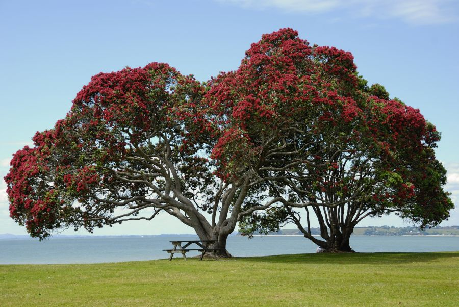 Free Photos: Pohutukawa tree on Cornwallis Beach, West Auckland.