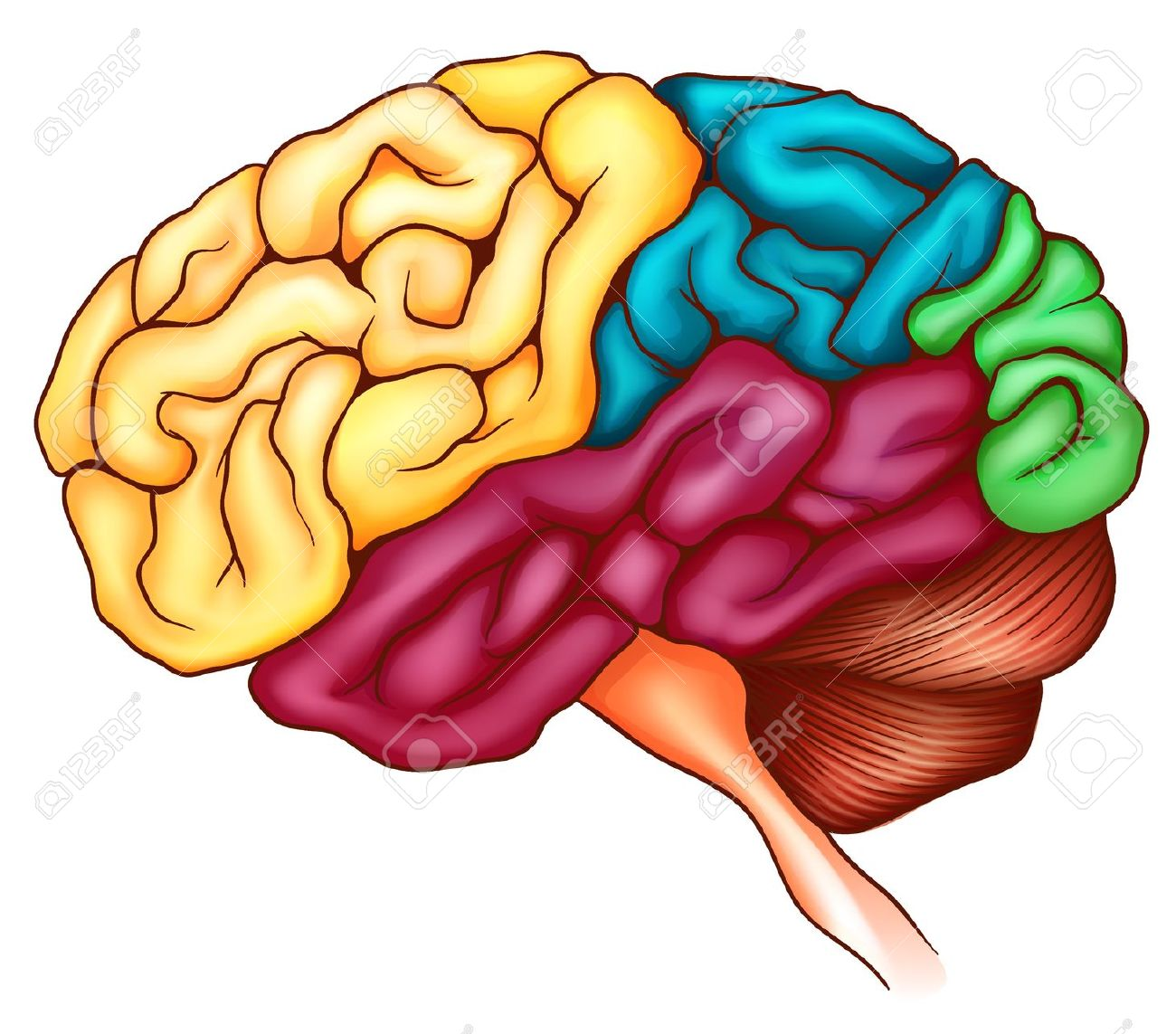 An Illustration Of The Human Brain Royalty Free Cliparts, Vectors.