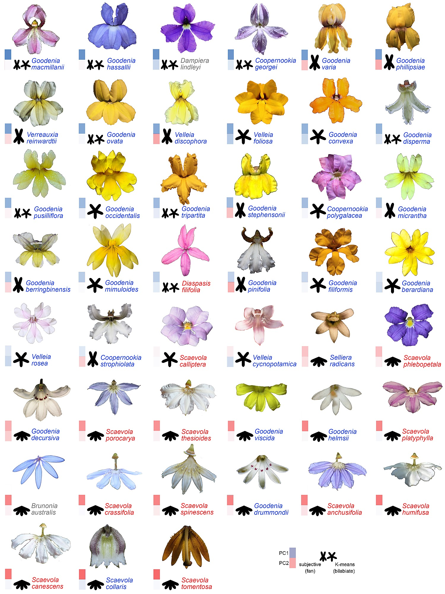 Characterizing Floral Symmetry in the Core Goodeniaceae with.
