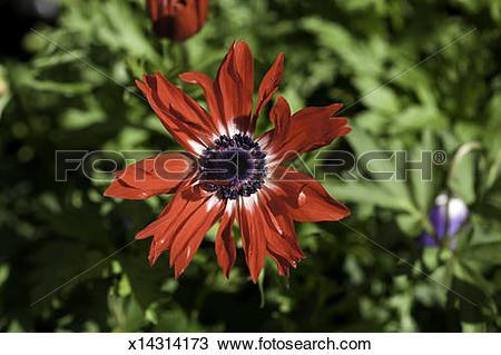 Stock Photo of St. Brigid (Anemone coronaria) x14314173.