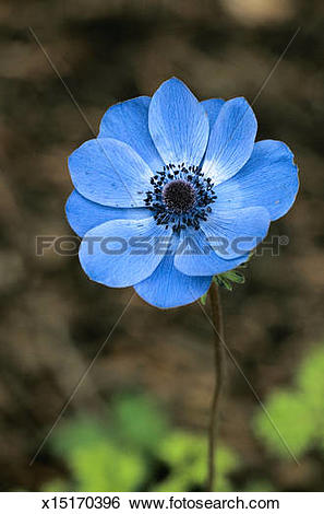 Stock Images of Anemone Coronaria x15170396.