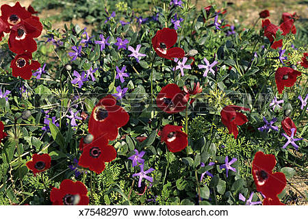 Stock Photography of Meadow with Crown Anemones, Anemone coronaria.