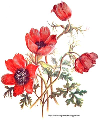 Anemone Coronaria.