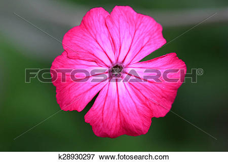 Picture of Silene coronaria k28930297.