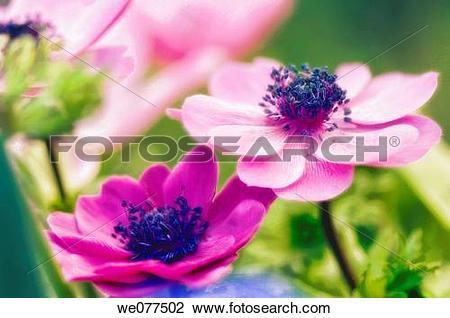 Stock Photo of Pink Anemone Flower Duo. Anemone coronaria. April.