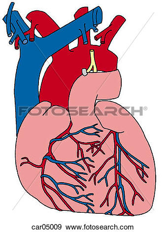 Stock Illustration of Sternocostal surface of heart with great.