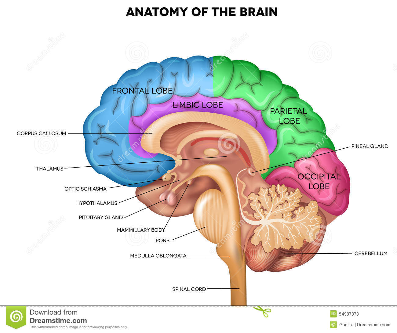 Human Brain Anatomy Stock Vector.