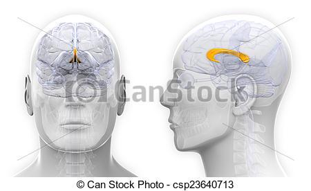 Clipart of Male Corpus Callosum Brain Anatomy.