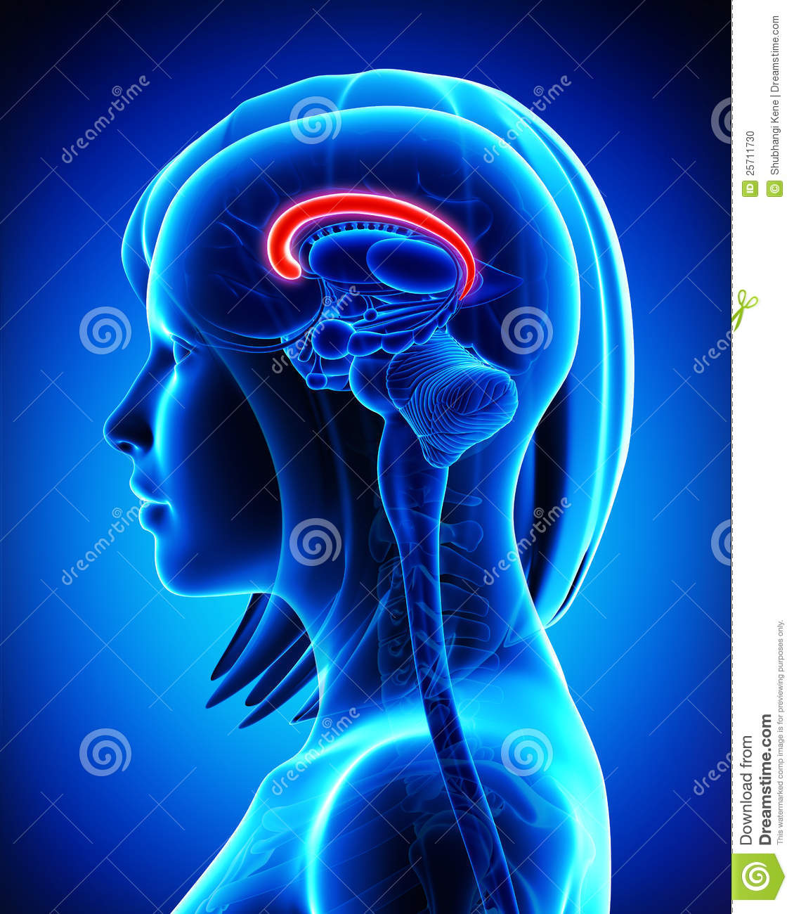 Brain Corpus Callosum Anatomy.