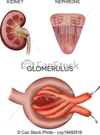 Vector Clip Art of Renal corpuscle and glomerulus, a part of the.