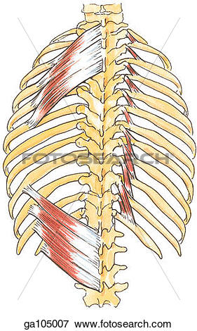 Stock Illustration of Posterior view of the muscles of the.