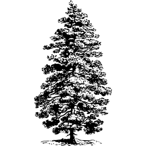 Corsican Pine clipart, cliparts of Corsican Pine free download.